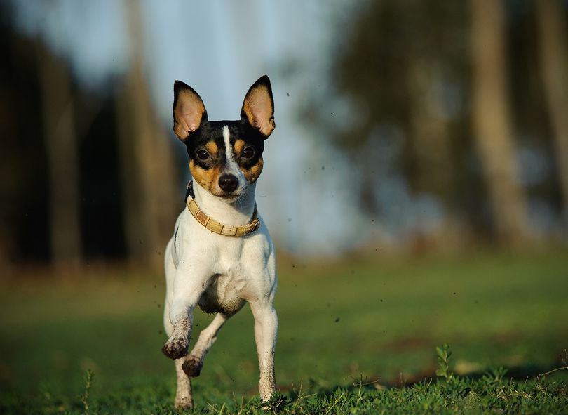 Primary image of Toy Fox Terrier dog breed