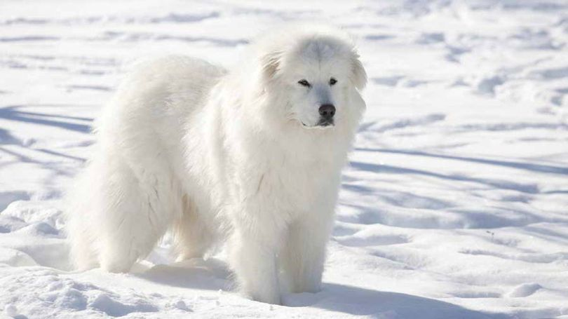 Primary image of Great Pyrenees dog breed