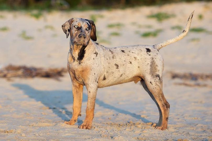 Primary image of Catahoula Cur dog breed