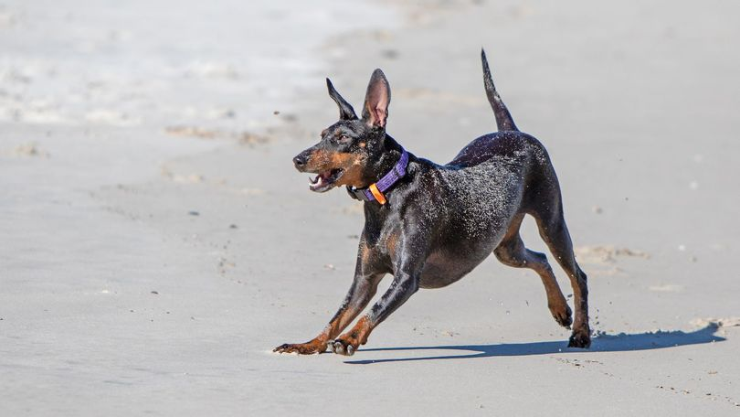 Primary image of Manchester Terrier dog breed