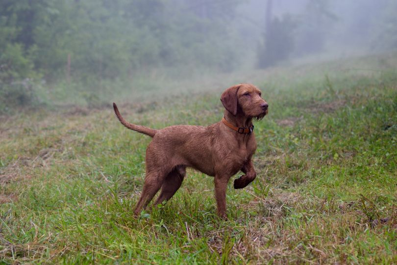 Primary image of Wirehaired Vizsla dog breed