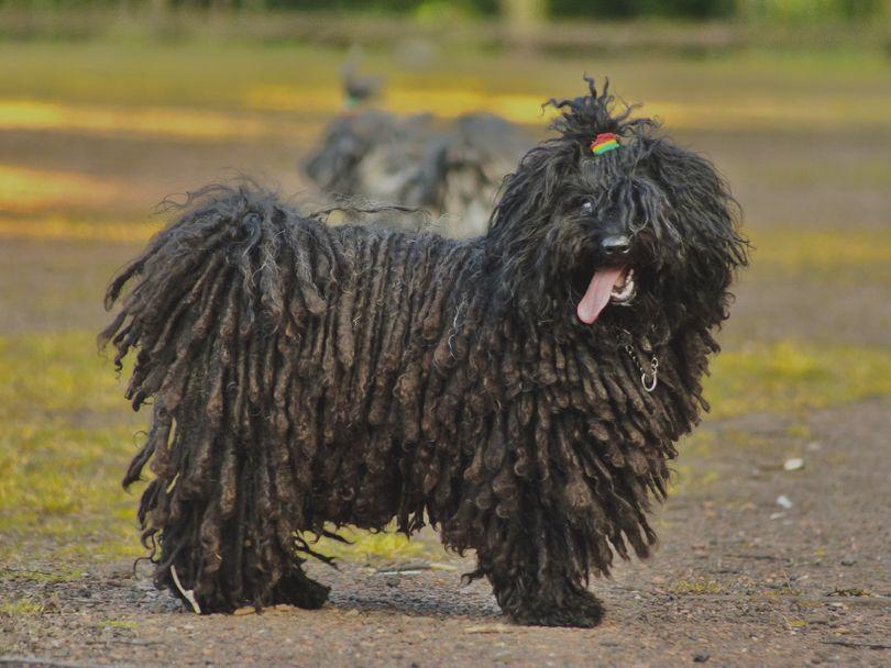 Primary image of Puli dog breed