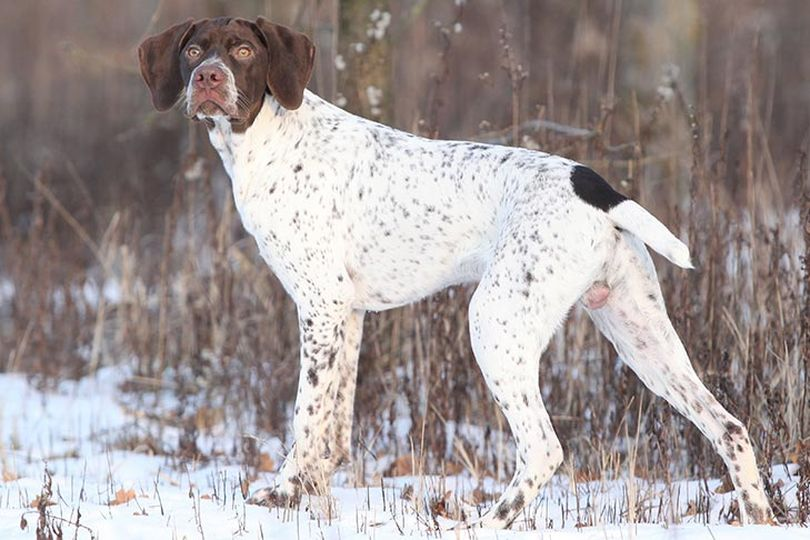 Primary image of Braque Francais dog breed