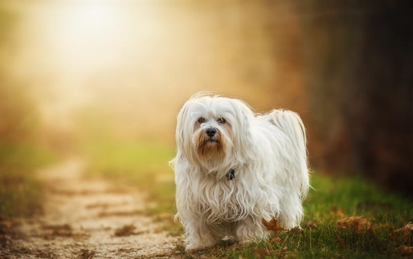 Primary image of Havanese dog breed