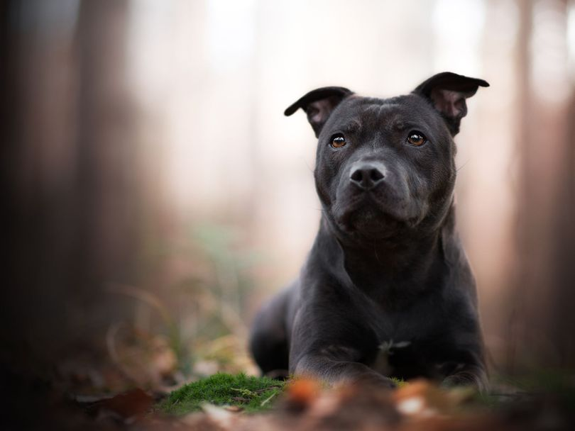 Primary image of Staffordshire Bull Terrier dog breed