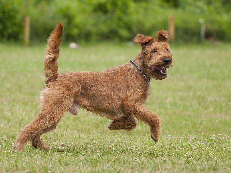 Primary image of Irish Terrier dog breed