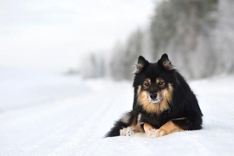 Primary image of Finnish Lapphund dog breed