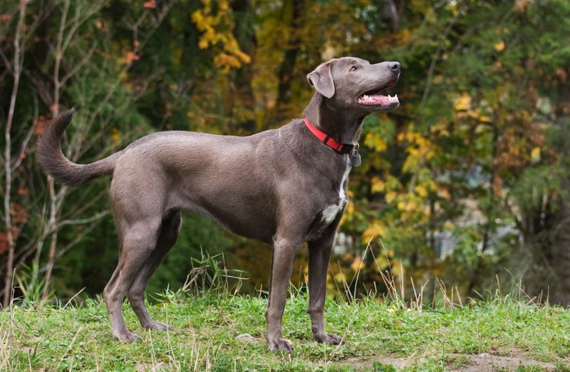 Primary image of Blue Lacy dog breed