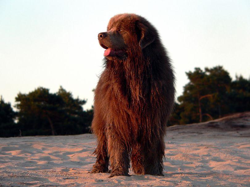 Primary image of Newfoundland dog breed