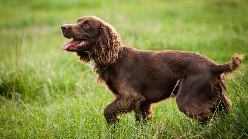 Primary image of Boykin Spaniel dog breed
