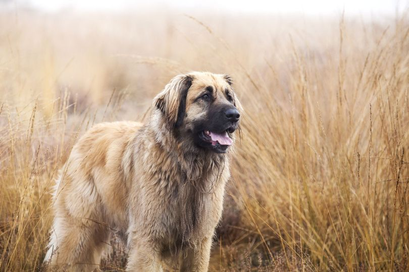 Primary image of Leonberger dog breed