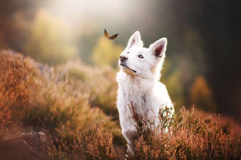 Primary image of White Shepherd dog breed