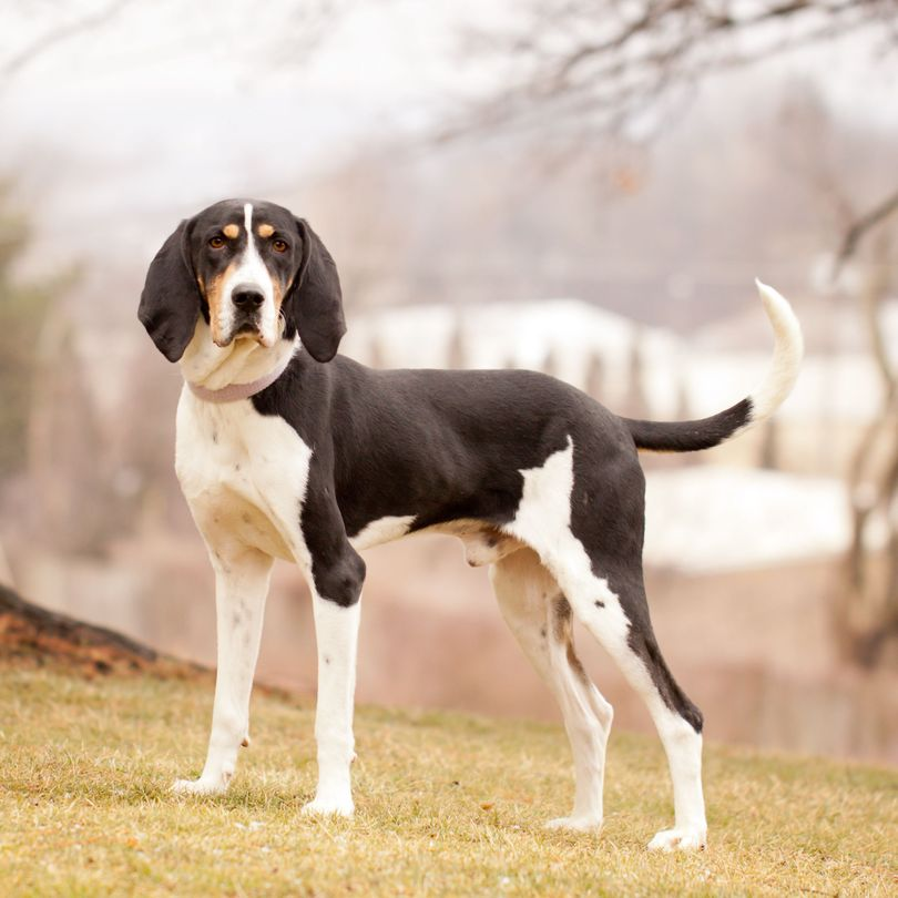 Primary image of Treeing Walker Coonhound dog breed