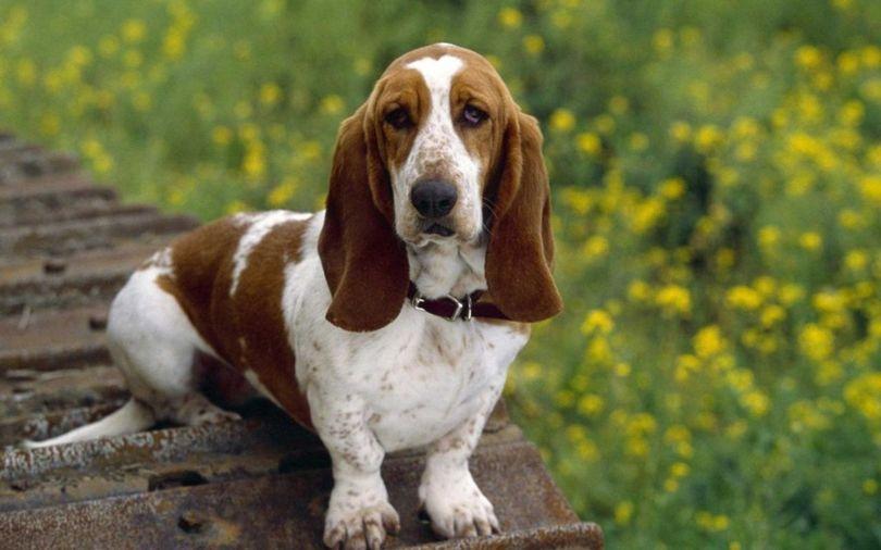 Primary image of Basset Hound dog breed