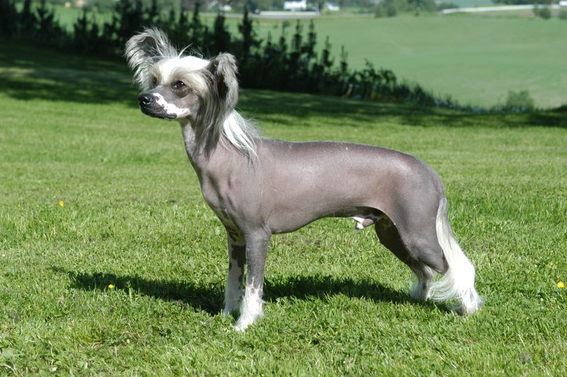 Primary image of Chinese Crested dog breed
