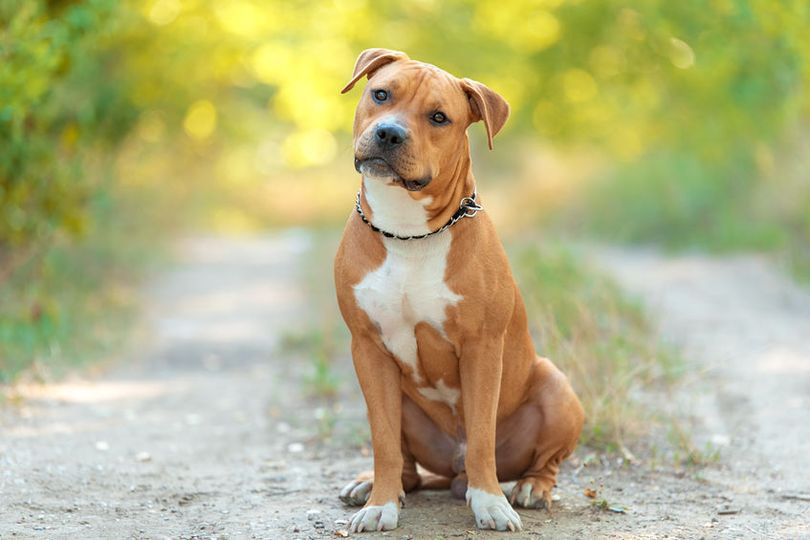 Primary image of American Staffordshire Terrier dog breed