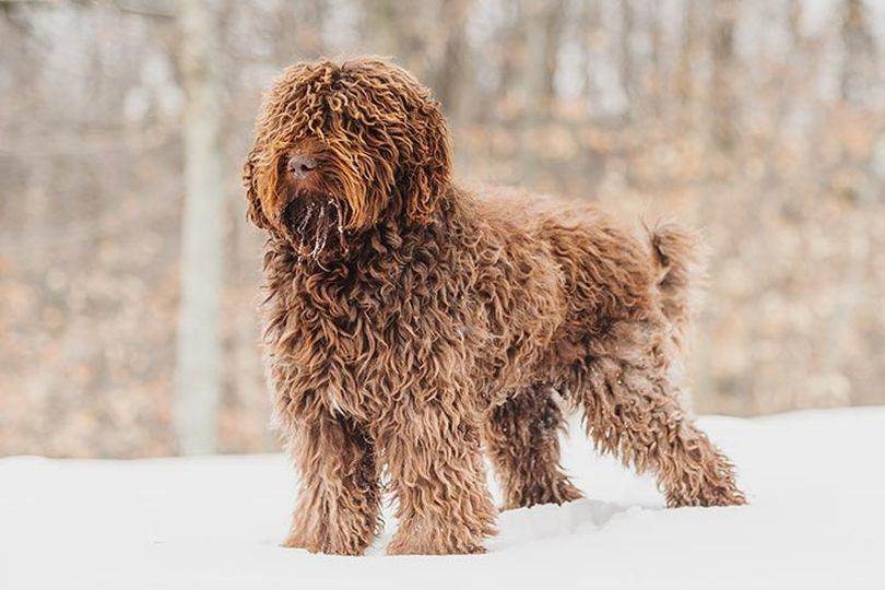 Primary image of Barbet dog breed