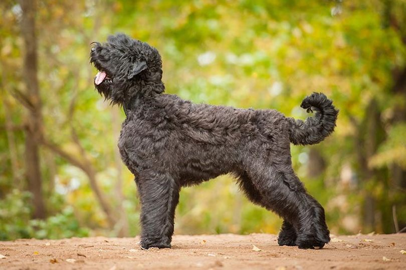 Primary image of Black Russian Terrier dog breed