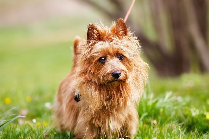 Primary image of Australian Terrier dog breed