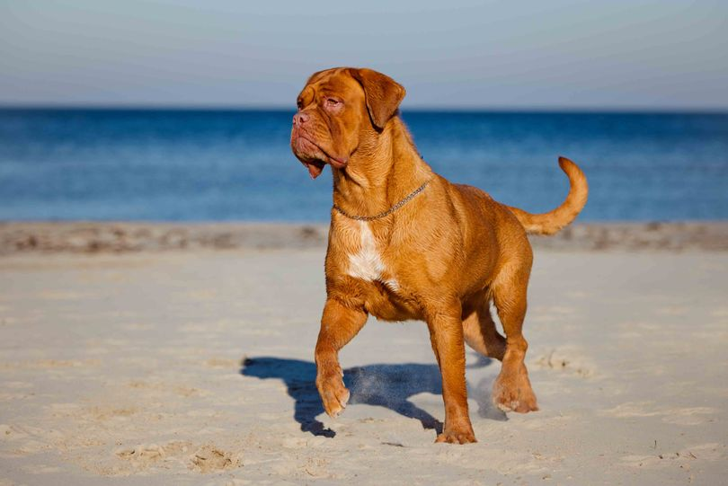 Primary image of Dogue de Bordeaux  dog breed