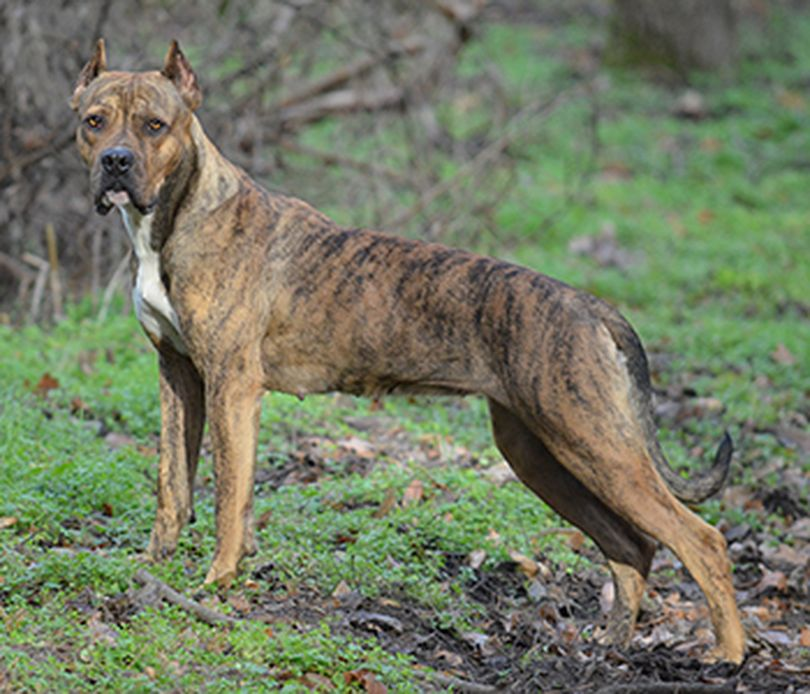Primary image of Alano Espanol dog breed