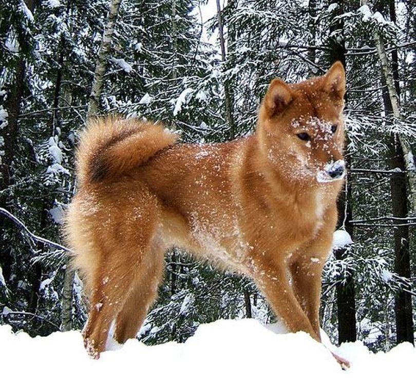 Primary image of Finnish Spitz dog breed