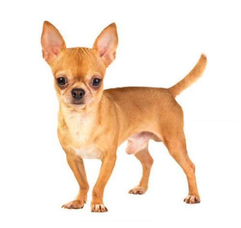 Primary image of Chihuahua dog breed