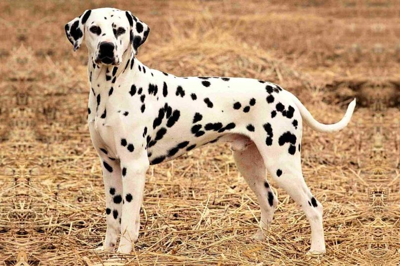 Primary image of Dalmatian dog breed