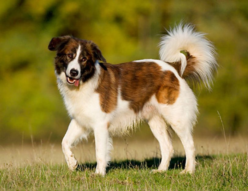 Primary image of Aidi dog breed