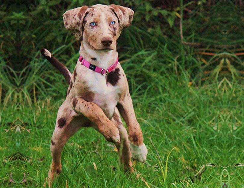 Primary image of American Leopard Hound dog breed