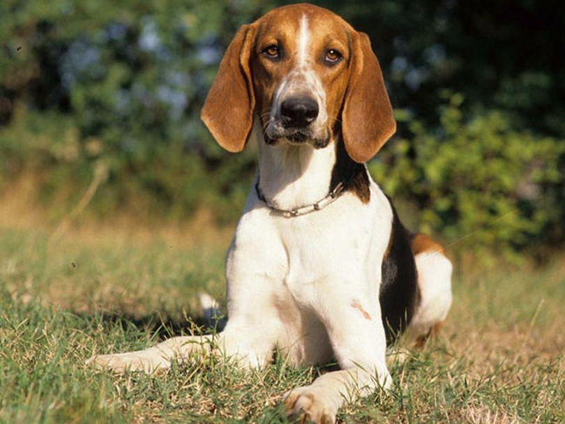 Primary image of Anglo Francais De Petite Venerie dog breed