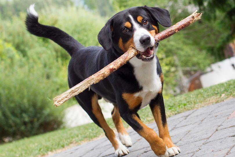 Primary image of Appenzeller Sennenhund dog breed