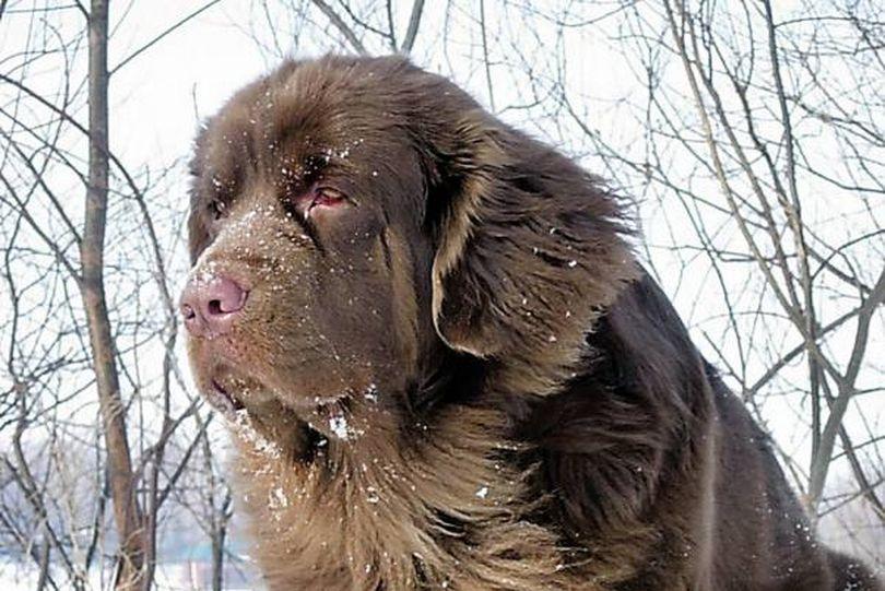 Primary image of Bakharwal Dog dog breed