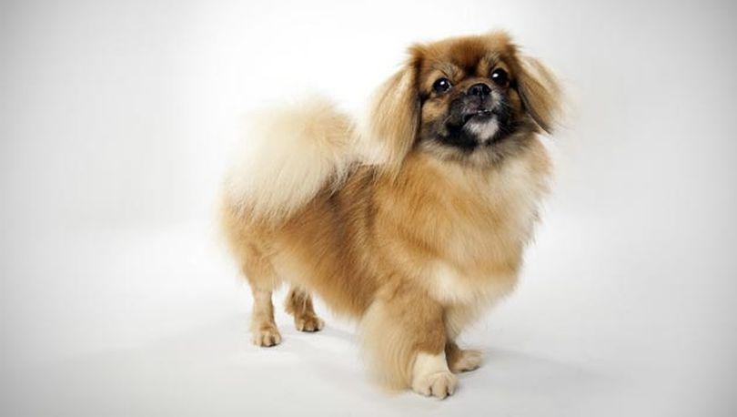 Primary image of Tibetan Spaniel dog breed