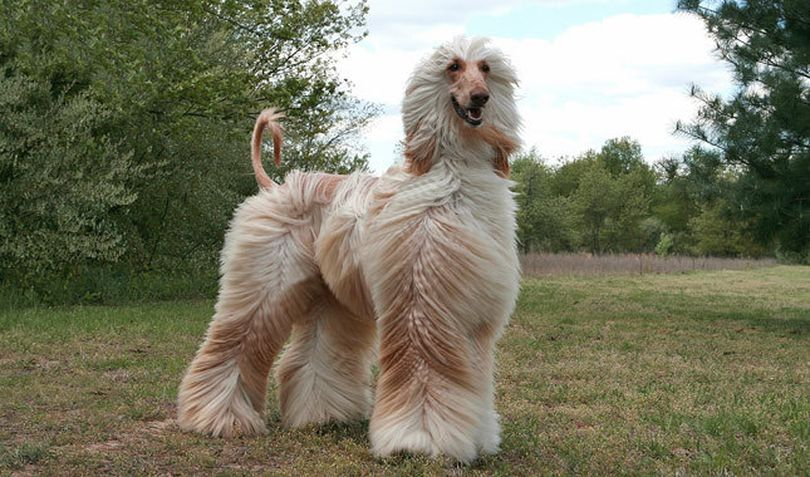 Primary image of Afghan Hound dog breed