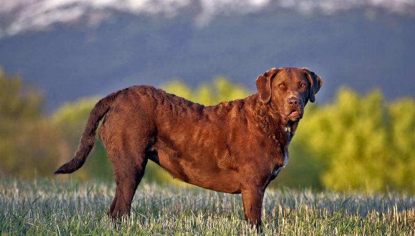 Primary image of Chesapeake Bay Retriever dog breed