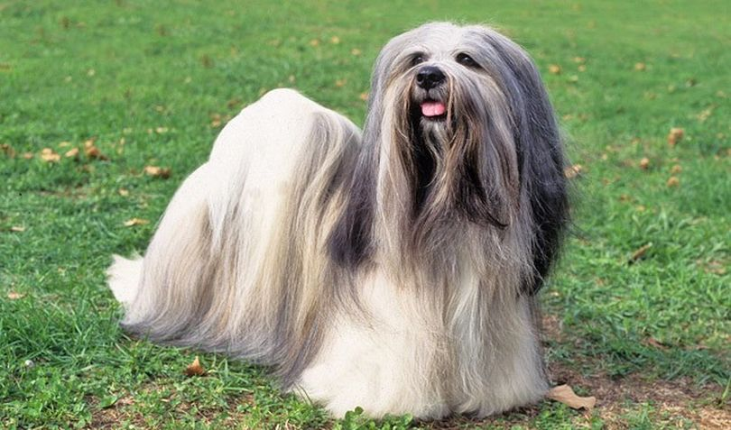 Primary image of Lhasa Apso dog breed