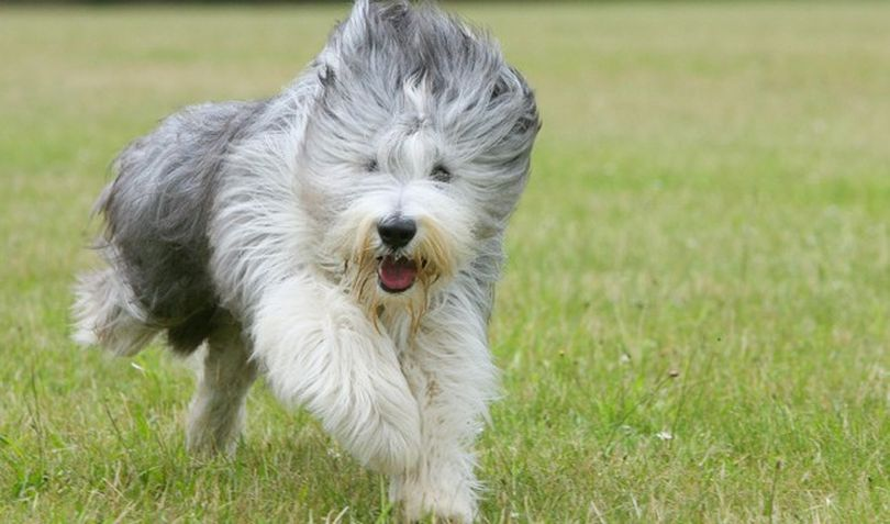 Primary image of Bearded Collie dog breed