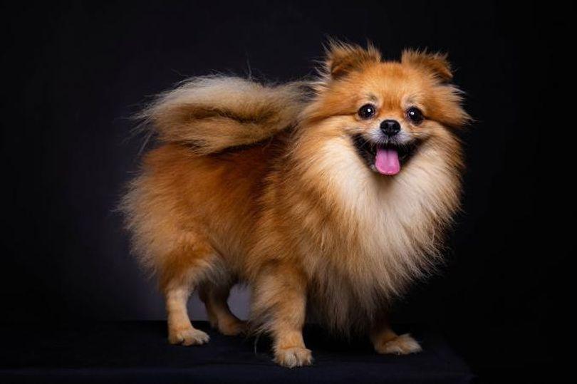 Primary image of Pomeranian dog breed