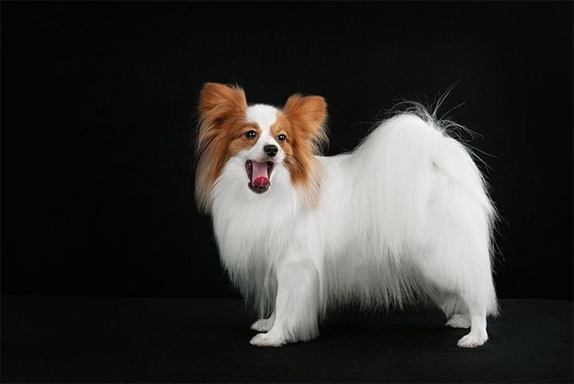 Primary image of Papillon dog breed
