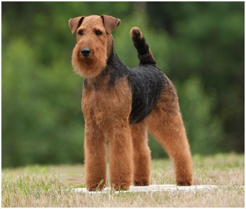 Primary image of Welsh Terrier dog breed