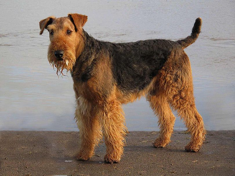 Primary image of Airedale Terrier dog breed