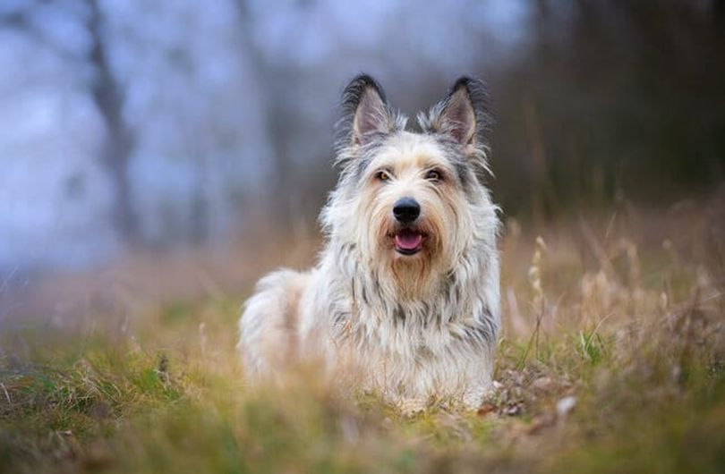 Primary image of Berger Picard dog breed