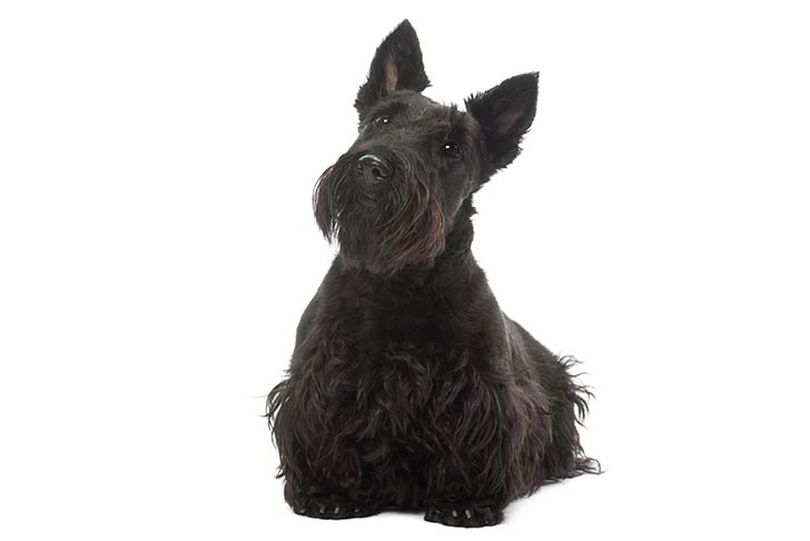 Primary image of Scottish Terrier dog breed