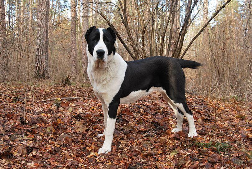 Primary image of Bully Kutta dog breed