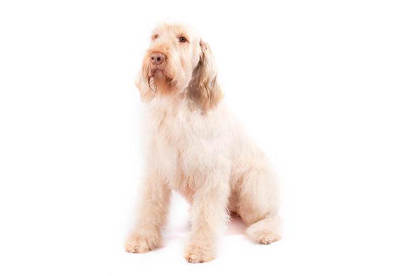 Primary image of Spinone Italiano dog breed