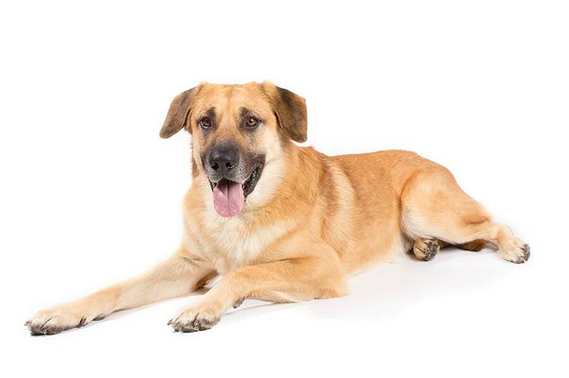 Primary image of Chinook dog breed