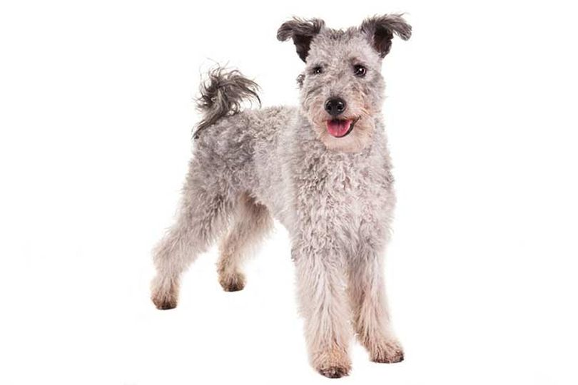 Primary image of Pumi dog breed