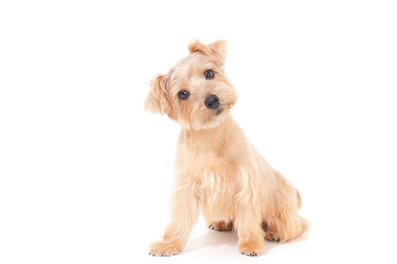 Primary image of Norfolk Terrier dog breed