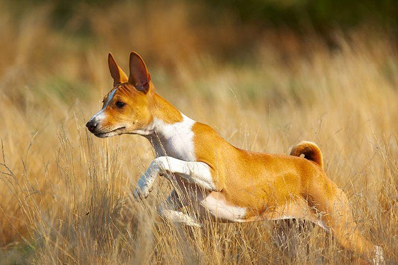 Primary image of Basenji dog breed